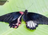 پروانه زیبا و دوجنسه که دانشمندان را شگفت زده کرده است