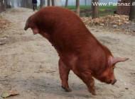 کشف عجیب این خوک 2 پایی که با خوردن لیمونات می رقصد