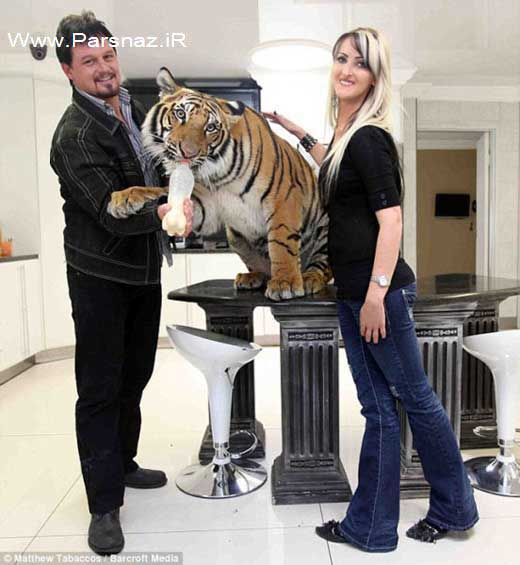 زندگی عجیب این زوج با  ببر بنگالی حیوان درنده آفریقایی