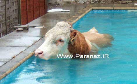 حضور ناگهانی یک گاو در مراسم افتتاح استخر + عکس