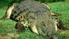علمی و دانستنی های جالب درباره تمساح + عکس