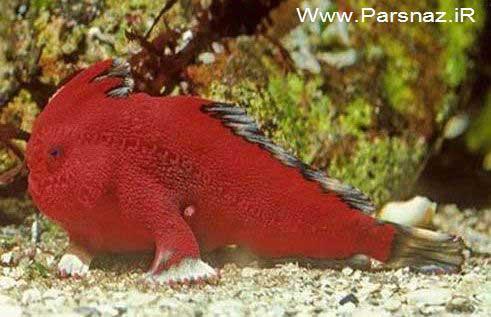 www.parsnaz.ir - پیدا کردن ماهی بسیار عجیب که می تواند راه برود + عکس