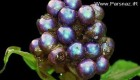 پیدا کردن زیباترین و رنگارنگ ترین میوه در دنیا + عکس
