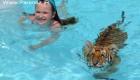 تابحال دیده بودید یک ببر شنا کند؟ + عکس