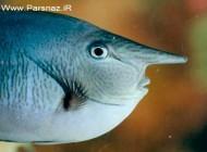 کشف ماهی عجیب انسان نما (عکس)