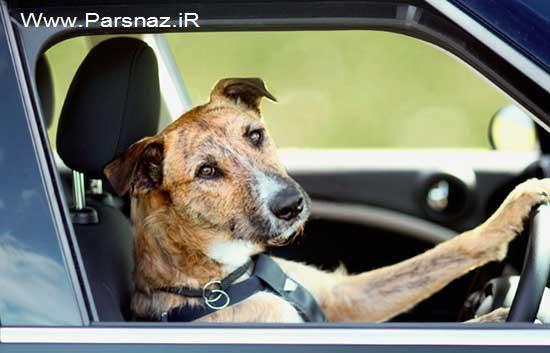 شرکت ولوو به سگ ها آموزش رانندگی می دهد