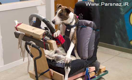وقتی به سگ ها آموزش رانندگی داده می شود!! (عکس)