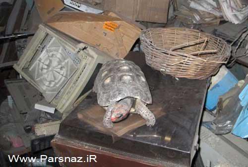 www.parsnaz.ir - این خانم بعد از 30 سال لاک پشت دست آموز خود را پیدا کرد