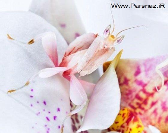 زیباترین حشره دنیا که رنگ بدن خود را عوض می کند (عکس)