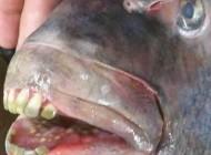 وحشت مردم از این ماهی با دندانهایی شبیه انسان (عکس)