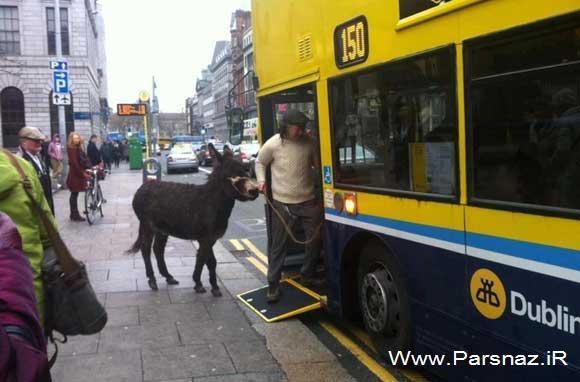 عکس جنجالی ورود این مرد ایرلندی با الاغش در اتوبوس