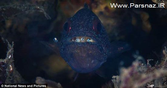 ماهی شگفت انگیزی که بچه هایش را در دهانش بزرگ میکند