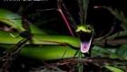مردم به این علت از مار سبز بی آزار می ترسند! (عکس)