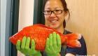 این ماهی قرمز بزرگترین ماهی دنیا است (عکس)