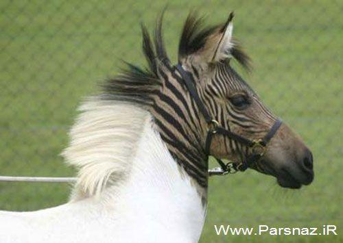 عاقبت جفت گیری گورخر و اسب این میشه (عکس)