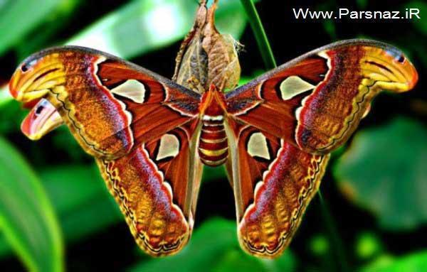 عکس های شگفت انگیز و جالب از بزرگترین پروانه در جهان