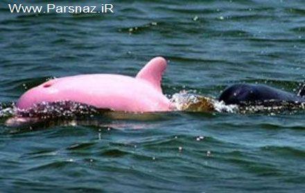 کشف کردن دلفین بسیار عجیب با رنگ صورتی! (عکس)