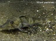 نوع عجیب و منحصر به فردترین ماهی موجود در جهان (عکس)