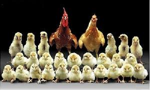 کدام یک اول بوجود آمدند : مرغ یا تخم مرغ؟..!