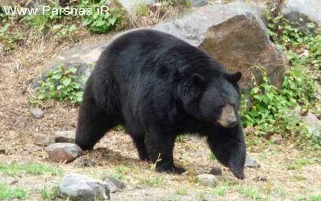 شجاعت دو خانم در فراری دادن خرس آدمخوار (عکس)