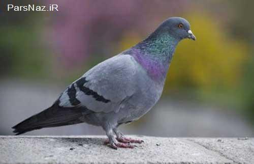 فروخته شدن گران ترین کبوتر دنیا (عکس)