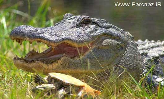 مقاومت شگفت انگیز این حیوان در مقابل تمساح (عکس)