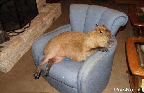 موش جونده ای که دو برابر سگ خانگی است (عکس)