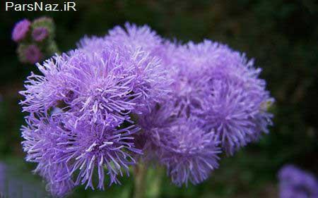 زیباترین  گل های  تابستانی (عکس)