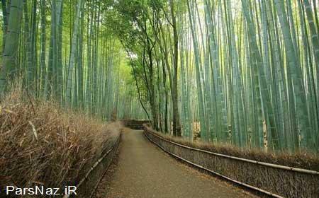 جنگل های شگفت انگیز و طبیعی  بامبو در کیوتو (عکس)
