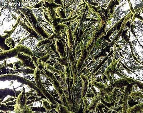 درختانی با برگ های عجیب و جادویی (عکس)