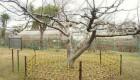 درختی که باعث کشف جاذبه زمین شد (عکس)