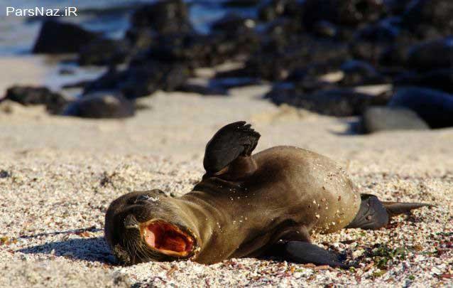 شیرهای دریای بامزه در حال گرفتن حمام آفتاب (عکس)