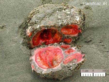 سنگی که هم زنده است و هم خوراکی (عکس)