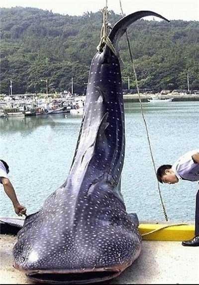 غول آسا ترین ماهی های اسیر شده در دنیا (عکس)