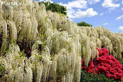 آبشارهای بینظیر از نوع گل (عکس)