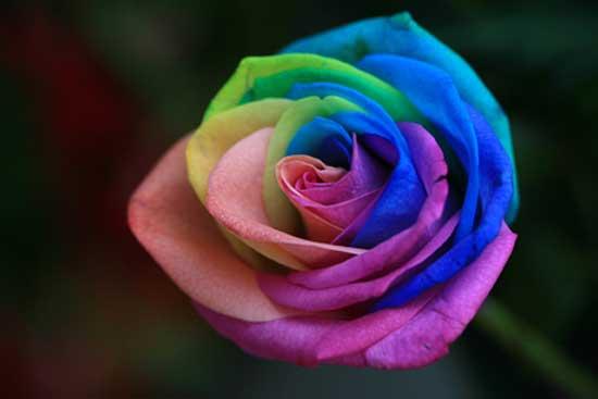 رزهایی با ترکیب رنگ بی نظیر و خاص