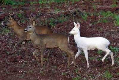 حیوانات شگفت انگیزی که به سفیدی برف هستند (عکس)