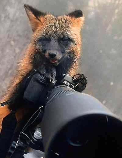 روباه عکاس باشی (عکس)