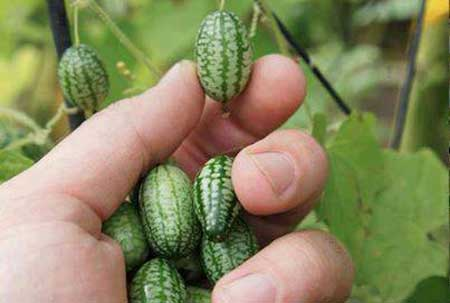 هندوانه بند انگشتی و بامزه (عکس)