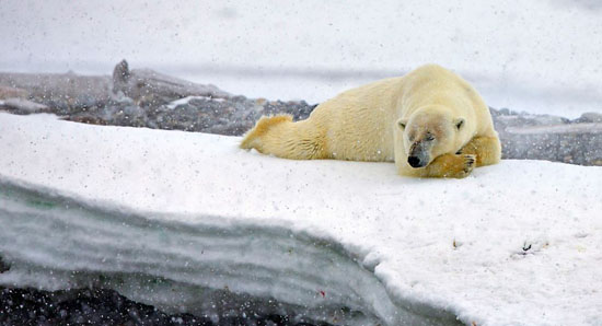 تصاویری از پیاده روی آخر هفته ی  خانوادگی خرس های قطبی