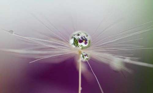 عکس های خاص از انعکاس شکفتن گل ها را در یک قطره ی آب