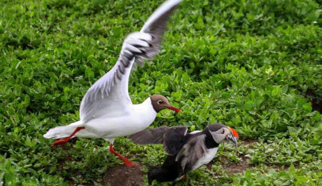 ضد حمله  جالب یک مرغ دریایی زبل(عکس)