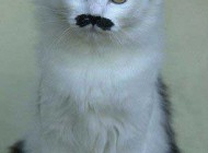 شباهت  عجیب این گربه به هیتلر  (عکس)
