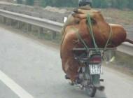 گاوی که موتور سواری می کند (عکس)