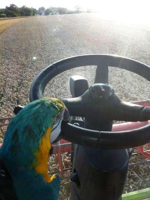 رانندگی عجیب یک طوطی (عکس)