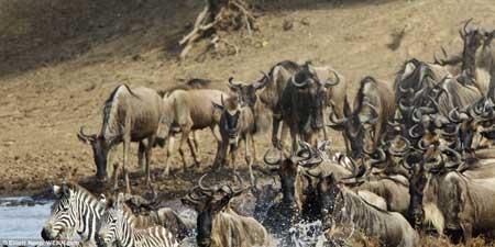 تصاویری از هرج و مرج گاو های وحشی با گورخرها