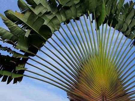 درختی عجیب که مانند دم طاووس است