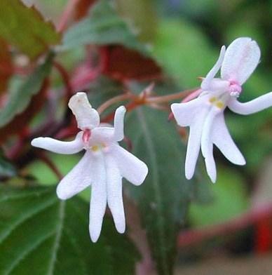 گل هایی که شیبه دختر رقاص هستند (عکس)