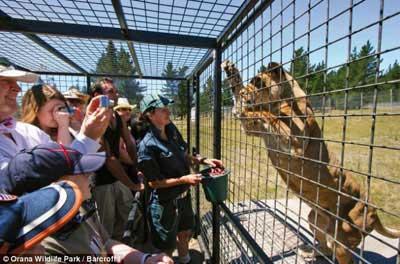 انسان هایی که به محاصره شیرها در آمدند (عکس)