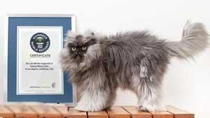 عکس حیرت انگیز گربه رکورد شکن
